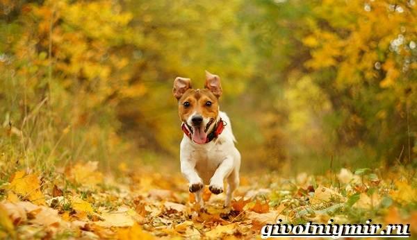 Джек-рассел-терьер-собака-Описание-особенности-уход-и-цена-Джек-Рассел-терьера-11