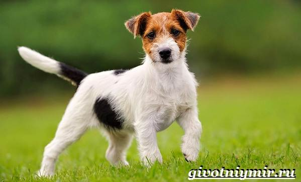 Джек-рассел-терьер-собака-Описание-особенности-уход-и-цена-Джек-Рассел-терьера-13