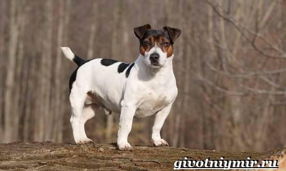Джек-рассел-терьер-собака-Описание-особенности-уход-и-цена-Джек-Рассел-терьера-15