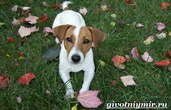 Джек-рассел-терьер-собака-Описание-особенности-уход-и-цена-Джек-Рассел-терьера-16