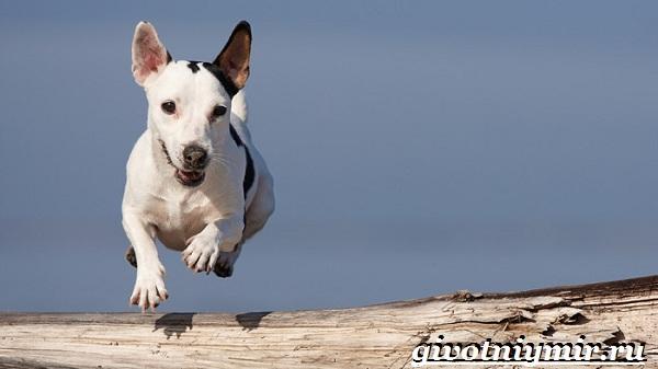 Джек-рассел-терьер-собака-Описание-особенности-уход-и-цена-Джек-Рассел-терьера-19