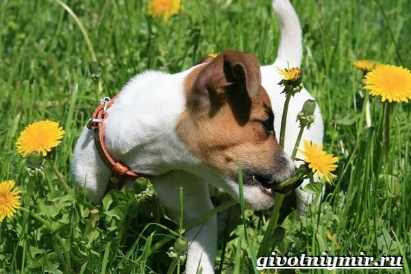 Джек-рассел-терьер-собака-Описание-особенности-уход-и-цена-Джек-Рассел-терьера-4