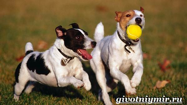 Джек-рассел-терьер-собака-Описание-особенности-уход-и-цена-Джек-Рассел-терьера-6