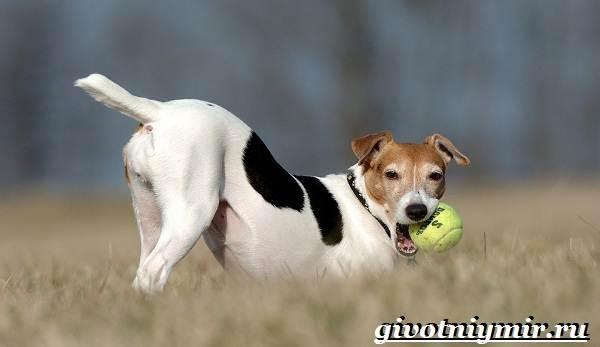 Джек-рассел-терьер-собака-Описание-особенности-уход-и-цена-Джек-Рассел-терьера-7