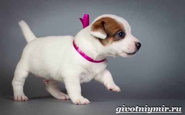 Джек-рассел-терьер-собака-Описание-особенности-уход-и-цена-Джек-Рассел-терьера-8