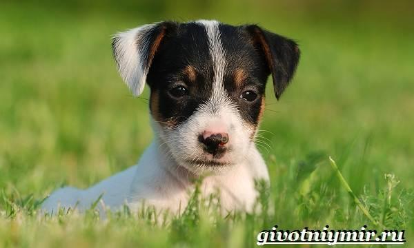 Джек-рассел-терьер-собака-Описание-особенности-уход-и-цена-Джек-Рассел-терьера-9