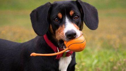 Энтлебухер собака. Описание, особенности, уход и цена породы энтлебухер