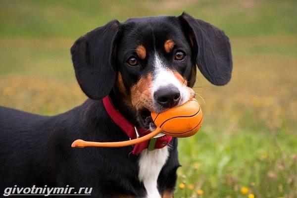 Энтлебухер-собака-Описание-особенности-уход-и-цена-породы-энтлебухер-2