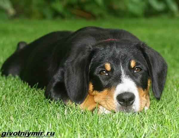 Энтлебухер-собака-Описание-особенности-уход-и-цена-породы-энтлебухер-3