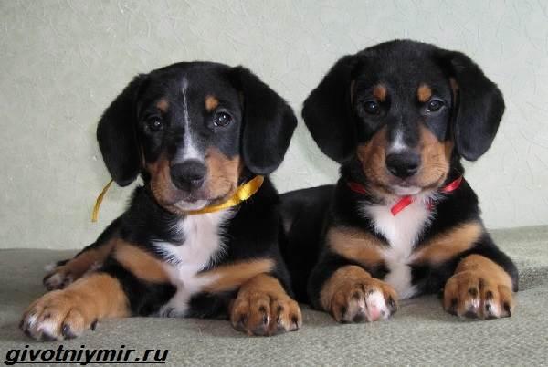 Энтлебухер-собака-Описание-особенности-уход-и-цена-породы-энтлебухер-4