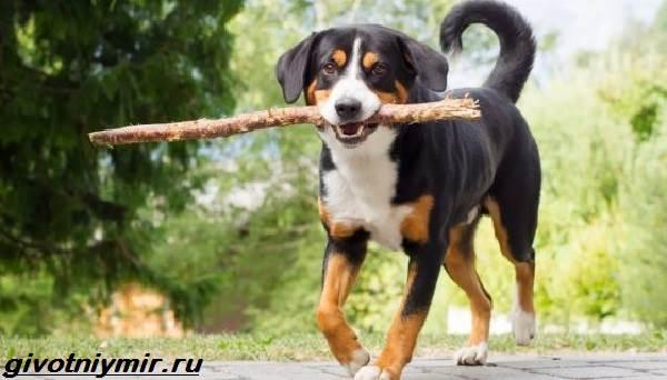 Энтлебухер-собака-Описание-особенности-уход-и-цена-породы-энтлебухер-5