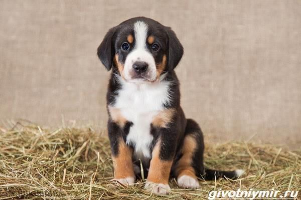 Энтлебухер-собака-Описание-особенности-уход-и-цена-породы-энтлебухер-7