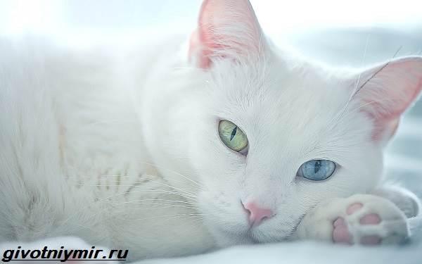 Као-мани-кошка-Описание-особенности-уход-и-цена-као-мани-1