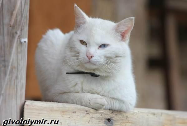 Као-мани-кошка-Описание-особенности-уход-и-цена-као-мани-2