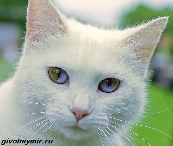 Као-мани-кошка-Описание-особенности-уход-и-цена-као-мани-3