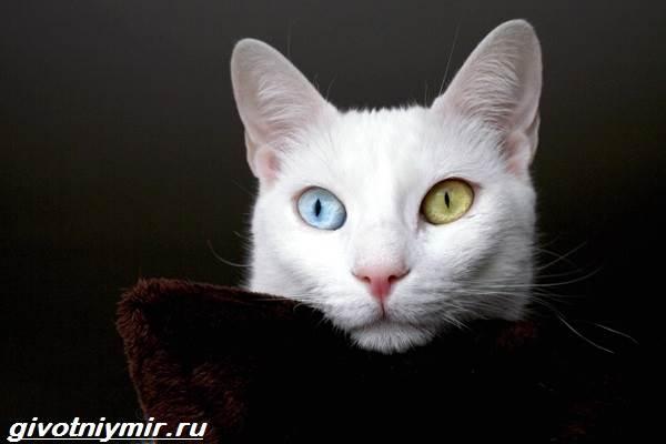 Као-мани-кошка-Описание-особенности-уход-и-цена-као-мани-4