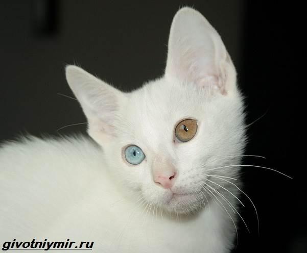 Као-мани-кошка-Описание-особенности-уход-и-цена-као-мани-5