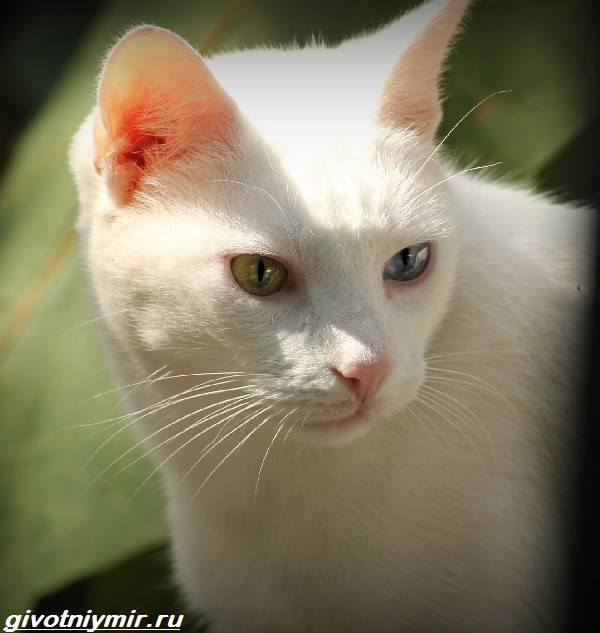 Као-мани-кошка-Описание-особенности-уход-и-цена-као-мани-6