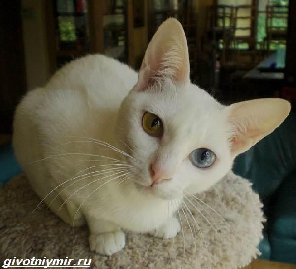 Као-мани-кошка-Описание-особенности-уход-и-цена-као-мани-7
