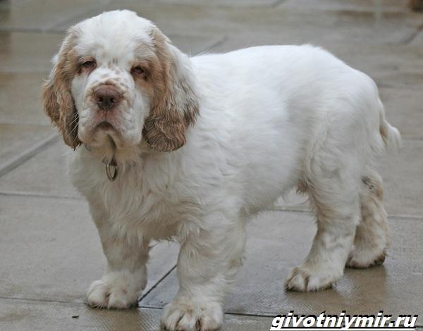 Кламбер-спаниель-собака-Описание-особенности-уход-и-цена-кламбер-спаниеля-10