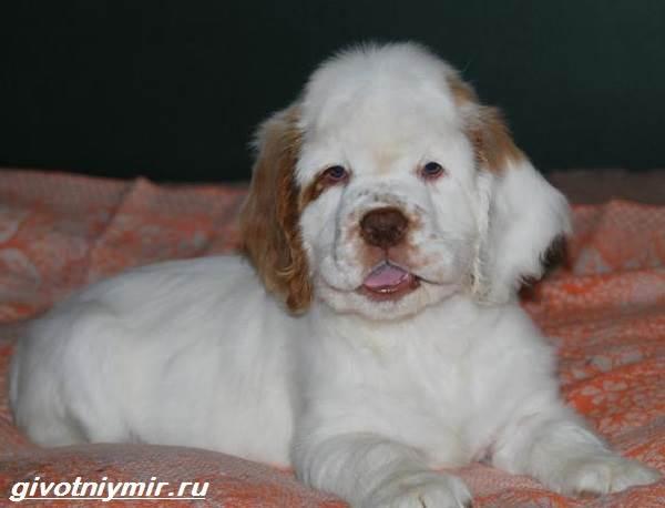 Кламбер-спаниель-собака-Описание-особенности-уход-и-цена-кламбер-спаниеля-2