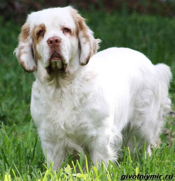 Кламбер-спаниель-собака-Описание-особенности-уход-и-цена-кламбер-спаниеля-3