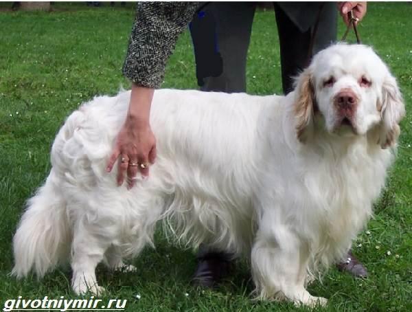 Кламбер-спаниель-собака-Описание-особенности-уход-и-цена-кламбер-спаниеля-5