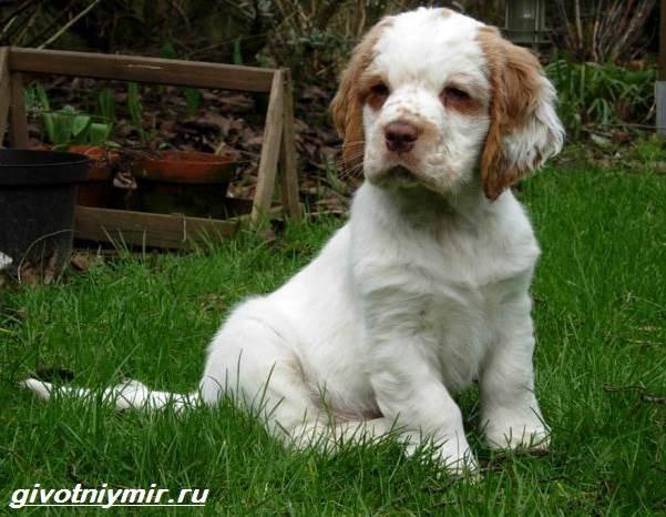 Кламбер-спаниель-собака-Описание-особенности-уход-и-цена-кламбер-спаниеля-6