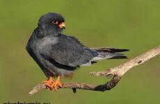Кобчик птица. Образ жизни и среда обитания птицы копчик