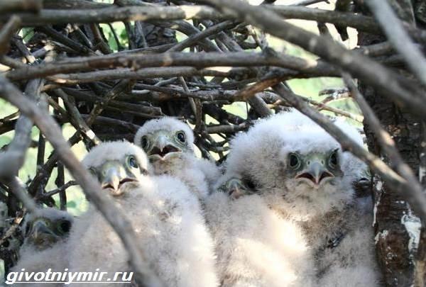 Кобчик-птица-Образ-жизни-и-среда-обитания-птицы-копчик-5