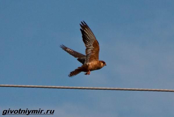 Кобчик-птица-Образ-жизни-и-среда-обитания-птицы-копчик-6