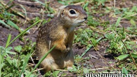 Крапчатый суслик. Образ жизни и среда обитания крапчатого суслика