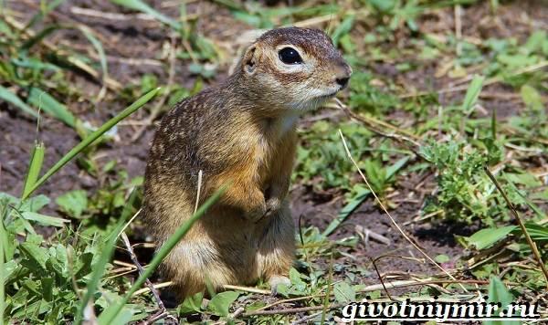 Крапчатый-суслик-Образ-жизни-и-среда-обитания-крапчатого-суслика-1
