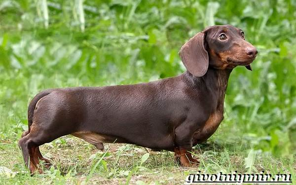 Кроличья-такса-собака-Описание-особенности-уход-и-цена-кроличьей-таксы-1