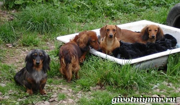 Кроличья-такса-собака-Описание-особенности-уход-и-цена-кроличьей-таксы-12