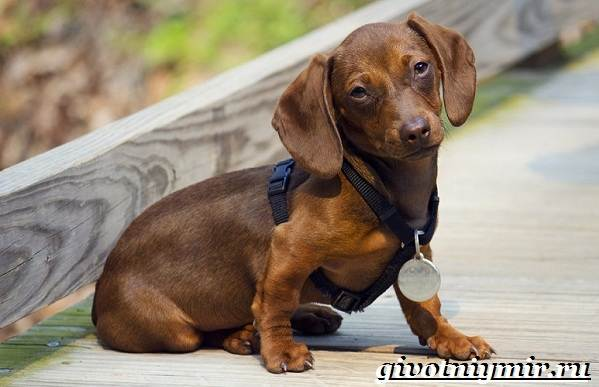 Кроличья-такса-собака-Описание-особенности-уход-и-цена-кроличьей-таксы-5