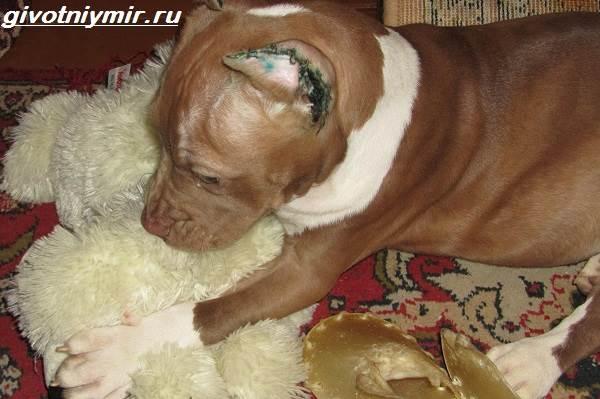 Купирование-ушей-у-собак-Описание-особенности-уход-и-возможные-осложнения-купированных-ушей-2