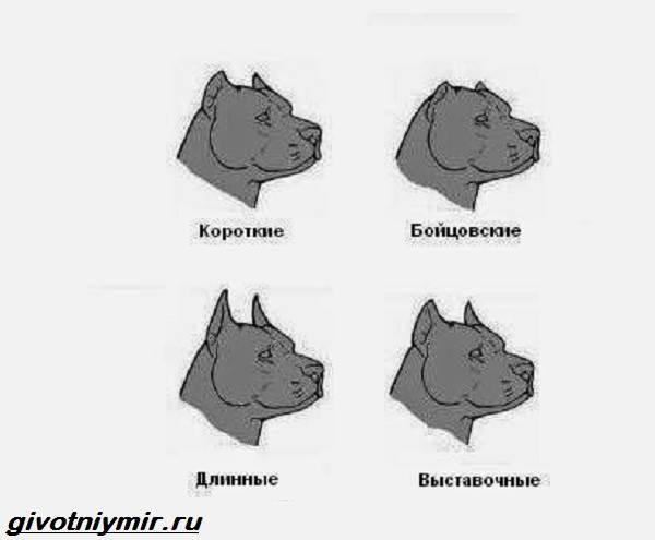 Купирование-ушей-у-собак-Описание-особенности-уход-и-возможные-осложнения-купированных-ушей-6