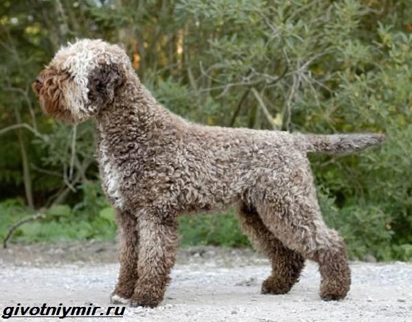 Лаготто-романьоло-собака-Описание-особенности-уход-и-цена-лаготто-романьоло-1