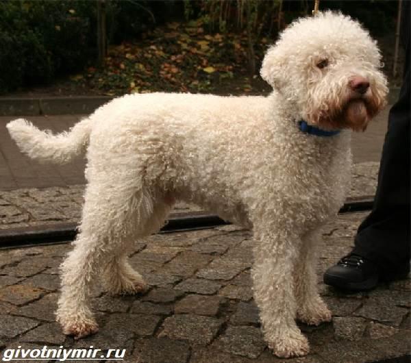 Лаготто-романьоло-собака-Описание-особенности-уход-и-цена-лаготто-романьоло-2