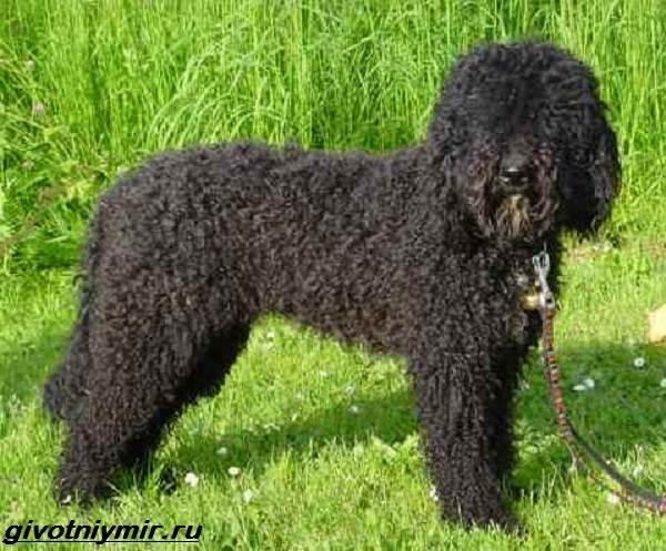 Лаготто-романьоло-собака-Описание-особенности-уход-и-цена-лаготто-романьоло-3