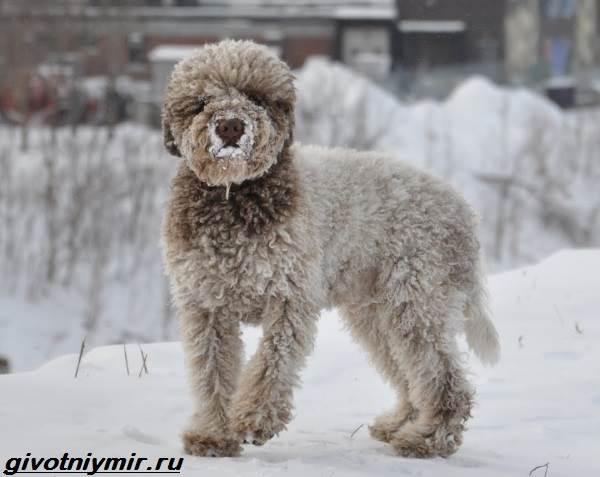 Лаготто-романьоло-собака-Описание-особенности-уход-и-цена-лаготто-романьоло-4
