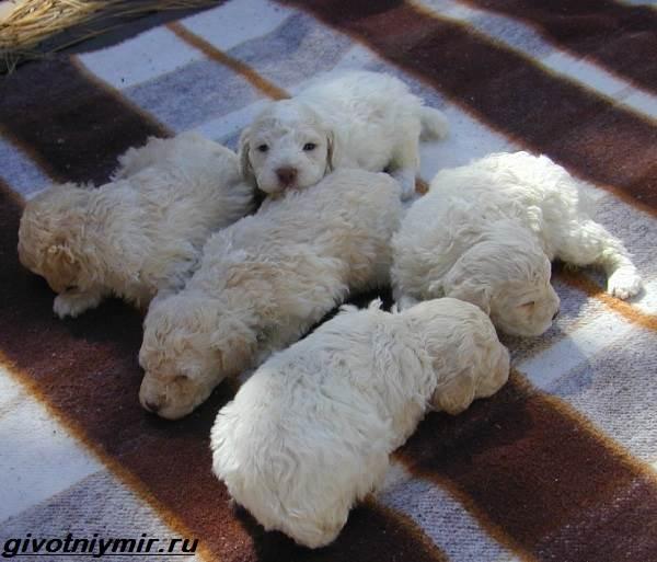 Лаготто-романьоло-собака-Описание-особенности-уход-и-цена-лаготто-романьоло-7