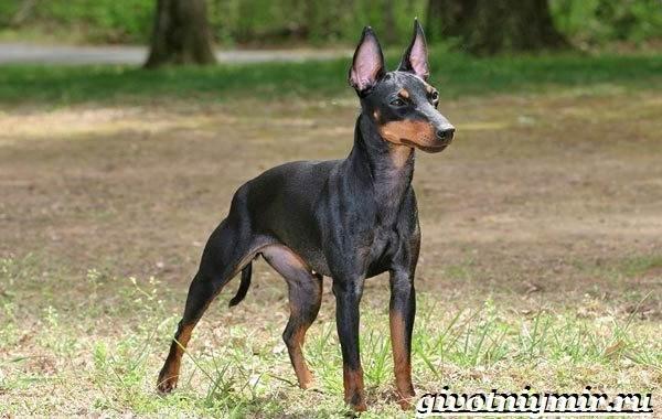 Манчестер-терьер-собака-Описание-особенности-уход-и-цена-манчестер-терьера-1