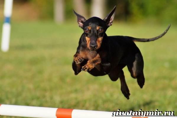 Манчестер-терьер-собака-Описание-особенности-уход-и-цена-манчестер-терьера-3