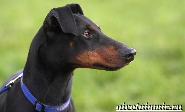 Манчестер-терьер-собака-Описание-особенности-уход-и-цена-манчестер-терьера-4