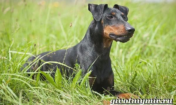 Манчестер-терьер-собака-Описание-особенности-уход-и-цена-манчестер-терьера-6
