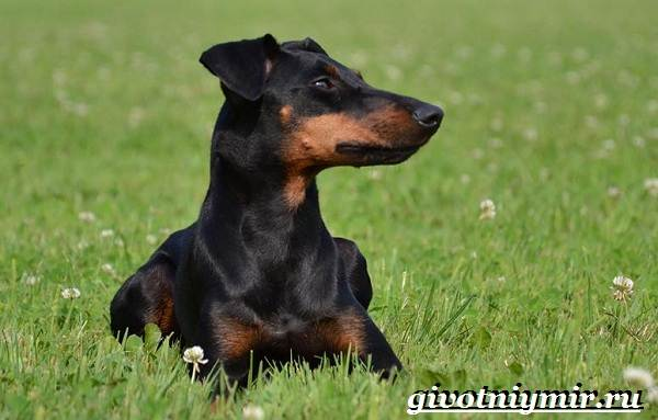 Манчестер-терьер-собака-Описание-особенности-уход-и-цена-манчестер-терьера-7