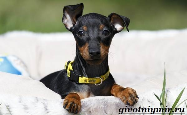 Манчестер-терьер-собака-Описание-особенности-уход-и-цена-манчестер-терьера-8