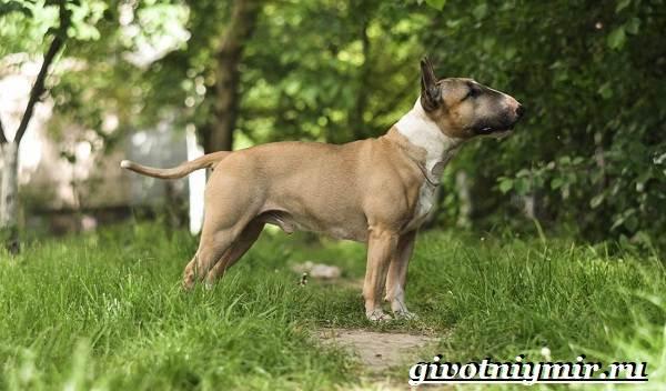Миниатюрный-бультерьер-собака-описание-особенности-уход-и-цена-миниатюрного-бультерьера-4